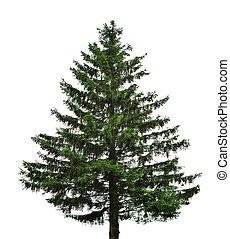 abeto, único, árvore