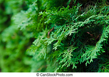 abeto, verde