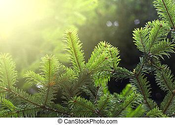 abeto, verde, ramo