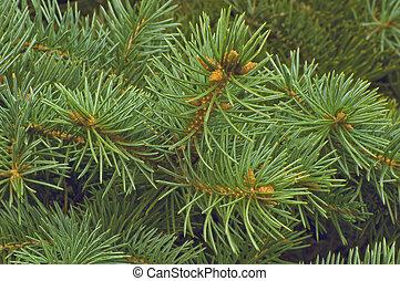 abeto, verde, ramos