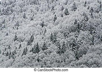 abetos, y, pinos, cubierto, con, nieve blanca, en las montañas
