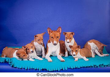 abfall, von, basenji, hundebabys, mit, mutter, auf, blaues