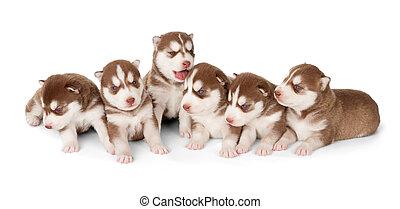 abfall, von, sibirisch, böttcher, rotes , heiser, hundebabys