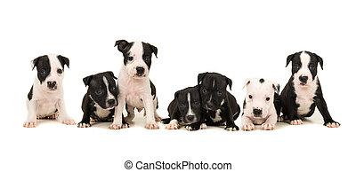 abfall, von, sieben, stafford, terrier, hundebabys