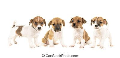 abfall, von, vier, wagenheber, russel, terrier, junger hund, hunden, freigestellt, auf, a, weißer hintergrund