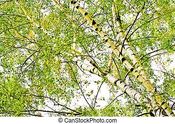 abfallend, birke bäume