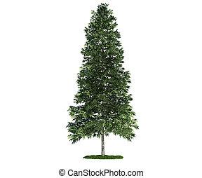 abies), albero, isolato, abete rosso, bianco, (picea, ...
