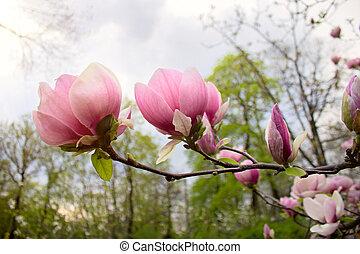 Abloom flower of magnolia tree in springtime