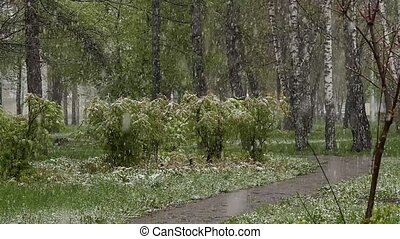 Abnormal weather. Falling snow in a park. Snow goes on a...