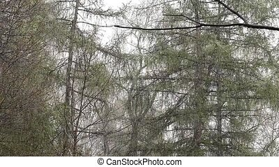 Abnormal weather. Snow goes on a green trees in the spring. slow motion