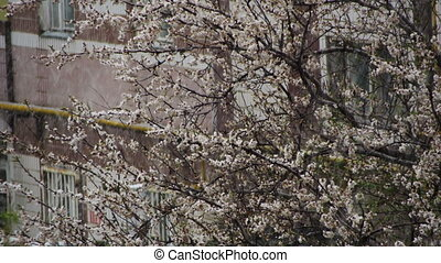 Abnormal weather. Snow goes on the Flowering Tree of Apricots in April