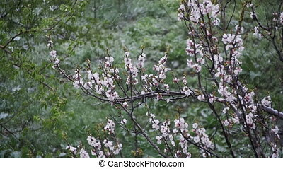 Abnormal weather. Snow goes on the Flowering Tree of Apricots in April. Slow Motion