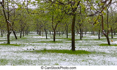 Abnormal weather. Snow goes on the green trees in the spring. Falling snow in a park with grass.