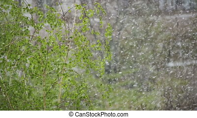 Abnormal weather. Snow goes on the green trees and leaves in April at Spring. Slow Motion