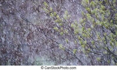 Abnormal weather. Snow goes on the green trees and leaves in...