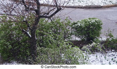 Abnormal weather. Snow goes on the green trees, leaves and flowers in April at Spring