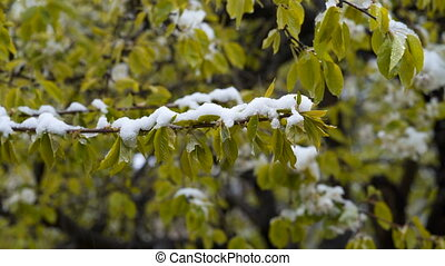 Abnormal weather. Snow in late April. In the trees, green leaves and flowers