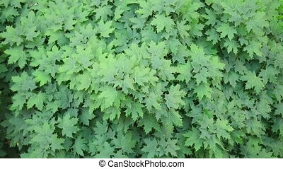 Above view at leaves of green maple tree. Summer time