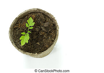 Biodegradable Peat Moss Pot with Tomato seedlings isolated ...