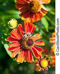 honey bee sips nectar from gaillardia flower