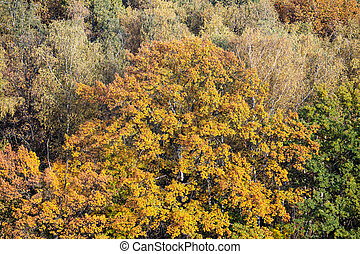 large oak tree with lush yellow foliage in forest