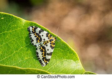 Abraxas grossulariata butterfly sitting on a leaf
