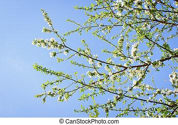 abricot, contre, arbre, fleurs, ciel bleu, fleurir