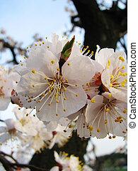 abricot, contre, fleurs, ciel bleu