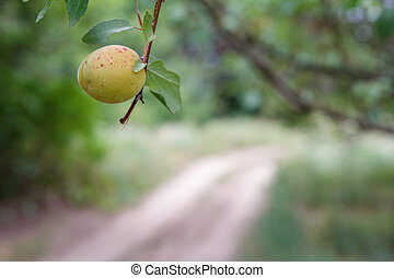 abricot, countryside., fruit arbre, branche, vert