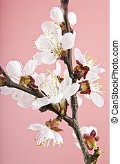 abricot, fleurs