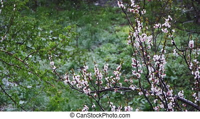 abricots, arbre, anormal, neige, avril, va, fleurir, weather...