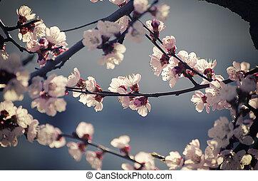abrikoos, bloem, boompje