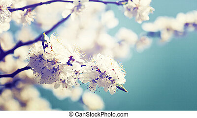 abrikoos boom, bloem, natuurlijke , abstract, achtergronden