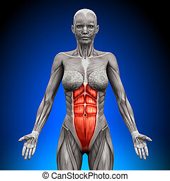 abs, -, femininas, anatomia, músculos