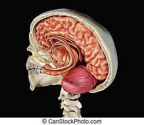 abschnitt, brain., kreuz, totenschädel, menschliche