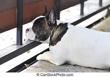 absent-minded dog or French bulldog