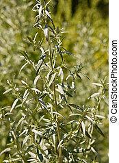absinthe wormwood, Artemisia absinthium