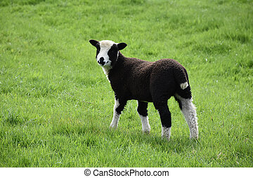 Absolutely Adorable Baby Lamb in a Grass Field