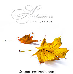 abstract autumn backgrounds - Autumn yellow maple leaves...