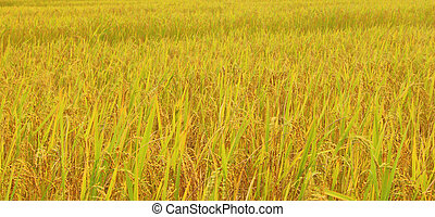 abstract background Barley fields
