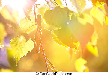 abstract background - birch leaves in the rays of sunlight