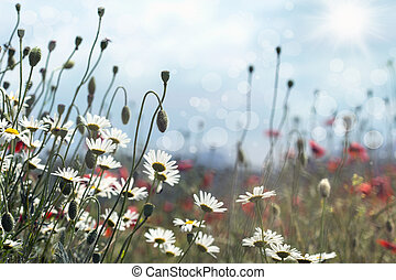 blooming daisies and poppies