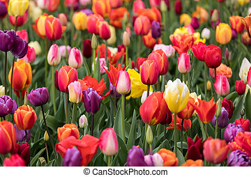 Abstract background . Colorful tulips flowers blooming in a park