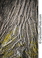 Structure bark of linden tree