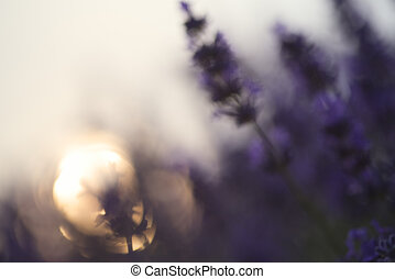 Abstract blur beautiful differential focus technique giving shallow depth of field blurred bokeh sun effect in lavender landscape