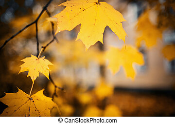 Branch of maple tree with autumn yellow leaves.