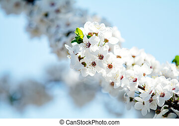 Abstract cherry blossoms blurred background