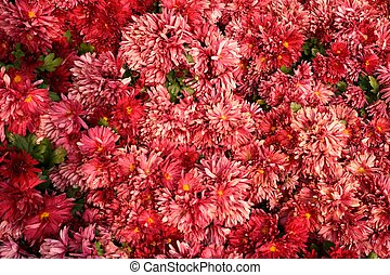colorful of chrysanthemum
