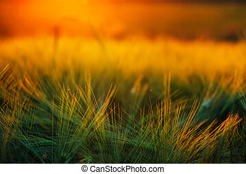 Abstract composition of barley field in sunset