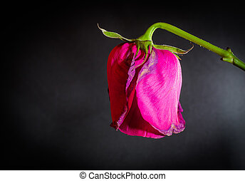 Side shot of a single pink dying rose on a black blank background